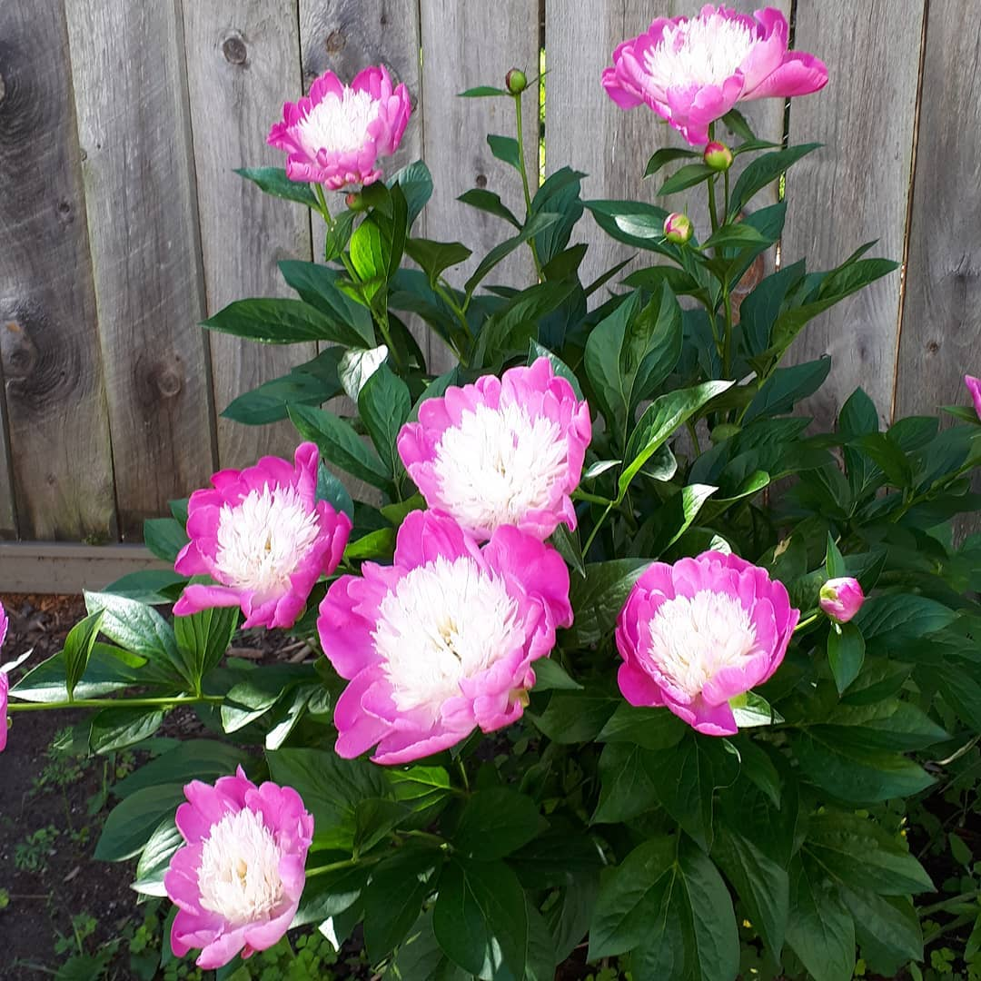 Amy Maureen Lynch Notes From Another Land Peonies in Summer